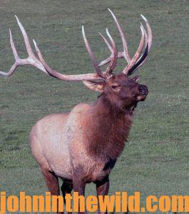 Cindi Richardson Takes a 350 Class Bull in New Mexico with Her Bow - 2 (Bull Elk)