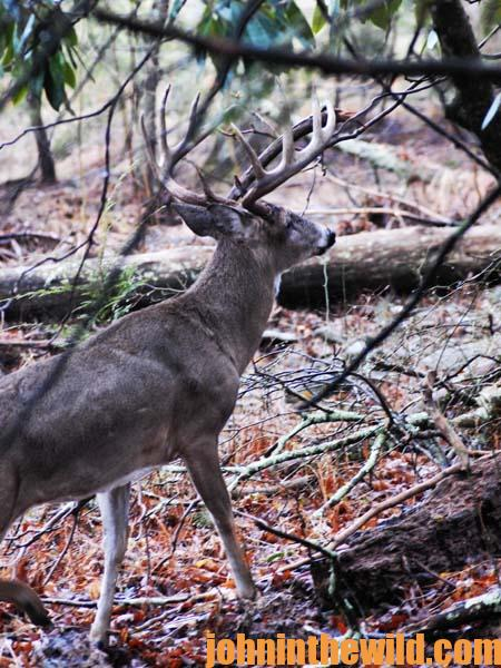 Crawl into Thickets to Take Big Buck Deer - 1