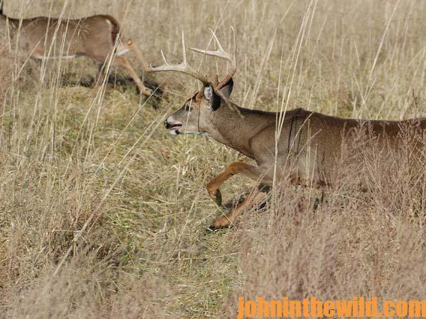 Crawl into Thickets to Take Big Buck Deer - 3