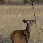Unusual Buck Deer Racks – Palmated, Drop-Tined, Malformed and Non-Typical