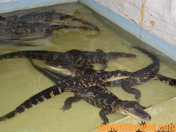 "Price says, ""I had hunted wild alligators long enough to know that live alligators were dangerous."""