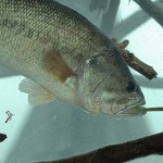 Slider Worm Fishing for Suspended Summertime Bass, Wintertime Spotted Bass and in Clear Western Lakes