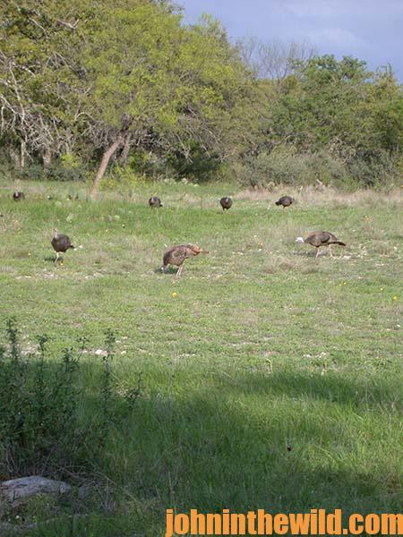 Taking a Texas Turkey on the Wesner Ranch Double E Outdoors - 2