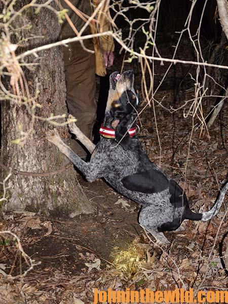Coon dogs are at their best when a raccoon is treed.