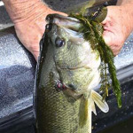 Zoom Magnum Worm for Bass at Lake Guntersville with Captain Phillip Criss