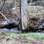 Bob Wozniak's Other Tips for Turkey Taking Success