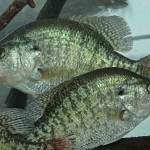 "Tackle and Equipment for Catching Crappie in the Summer by John E. Phillips with Gifford ""Sonny"" Sipes"