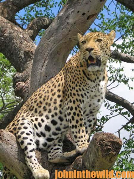 Hunting African Leopards with Tracy Hardy 10