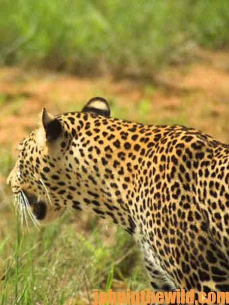 Hunting African Leopards with Tracy Hardy 11