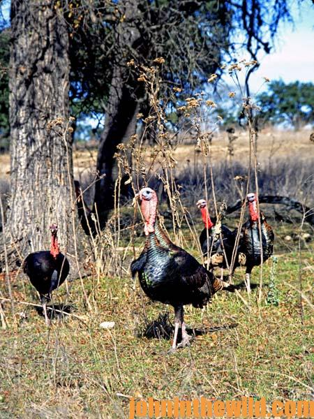 Hunting a Flock of Gobblers with Quaker Boys Chris Kirby 3