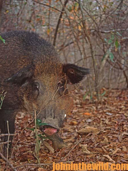 The History of Wild Boar Hunting and the Wild Hog in America 4