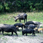 The History of Wild Boar Hunting and the Wild Hog in America
