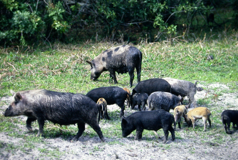 The History of Wild Boar Hunting and the Wild Hog in ...Giant Wild Boar Hunting In Usa