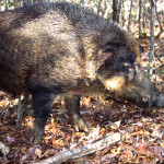 The Idea to Hunt Wild Hogs with a Spear