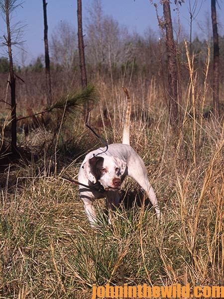 Where to Look For a Bird Dog Puppy to Hunt Quail 14