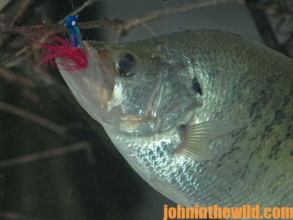 Guide Steve McCadams Explains Whether to Fish Minnows or Jigs for Crappie - 2