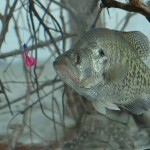 Guide Steve McCadams Plants Brush and Stake Beds for Crappie