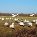 How John Gordon Sets-Up for Snow Geese During Mississippi's Conservation Season in February