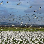 No Bag Limit Hunts with Unplugged Shotguns and Using Electronic Callers for Snow Geese in February and March