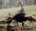 Walter Parrott on the Advantages of Hunting Turkeys from Blinds and Why to Take Turkeys in Fields with Your Bow 2