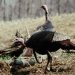 Walter Parrott on the Advantages of Turkey Hunting from Blinds and Why to Take Turkeys in Fields with Your Bow