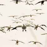 Why You Can Hunt Snow Geese in the Mississippi Delta from Now Until Mid-March