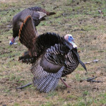 How to Set-Up on the Hung Up-Gobbler and How to Hunt Two on One Tom