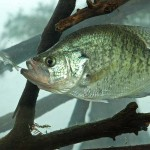 Some of the Most Effective Crappie Attractors