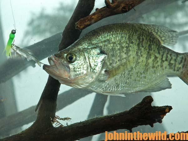 Some of the most effective crappie attractors john in for How to fish for crappie from the bank