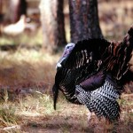 The Toughest Gobbler Matt Morrett Ever Tried to Take