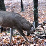 How to Hunt Green Fields and Scrapes for Deer at the End of the Season
