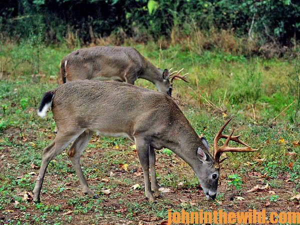 Hunt Deer to Locate Rabbits07