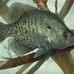 Understanding pH Breaklines and Thermoclines to Catch Summer Crappie with Ken Cook