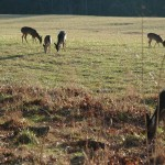 Why and How Maryland's Nuisance Deer Hunts Are Held