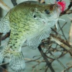 Catching Big Crappie with Brute Force