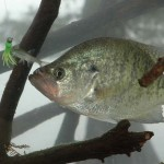Know the Speed of Your Crappie Jig, Learn to Read A Depth Finder, and Use Fish Attractants with Roger Gant