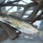 Tactics for Catching Catfish and Tasty Recipes