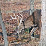 The Hunt for the Big Buck Deer