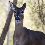 Use a Hunting Tactic That Works to Bag Deer