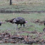More Equipment Needed for Successful Turkey Hunting