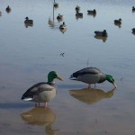 Numbers of Ducks and Specklebelly Geese in Louisiana