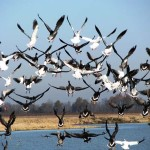 Hunting Tough Snow Geese