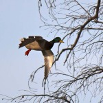 Calling the Shots for Waterfowl