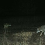How to Find Coyotes to Hunt