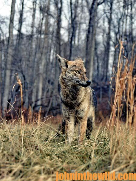 15 How to Find Coyotes to Hunt