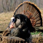 The Hardest Turkey Hunt Ever with Bob Walker