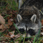 Raccoons are a Bigger Problem in the East than Coyotes in the West