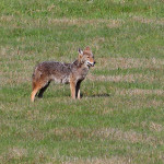 To Take Coyotes You Have to Hunt Differently with Steve Reinhold