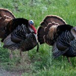 For the Most Exciting Hunting Chase Wild Turkeys and Eat Them