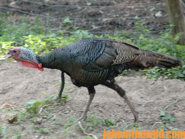 10 Learning More about Turkeys by Buddy Hunting